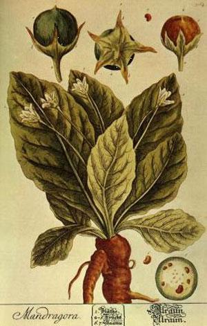 La Mandragora: credenze magiche e mitologiche, diffusione nel territorio pugliese, curiosità varie