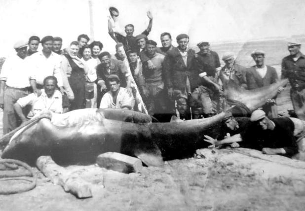 Anno 1955: alla tonnara di Torre Ovo, pescato uno squalo smeriglio