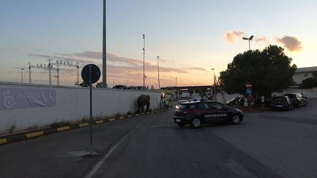 Maruggio, elefante in cerca di libertà