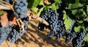 Tutti insieme verso la docg, qualità certificata e garantita per il Primitivo di Manduria: il Consorzio di Tutela incontra i viticoltori