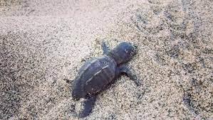 Nel Delta del Po si sono schiuse le prime uova di tartaruga marina Caretta caretta