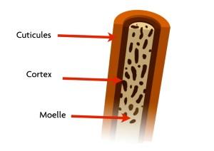 Structure cheveu