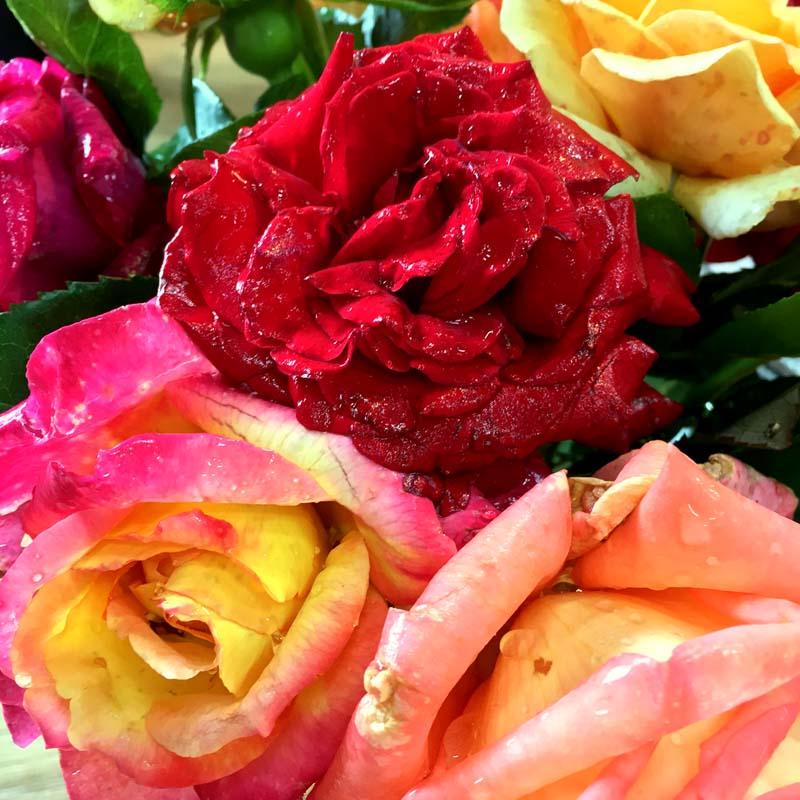 rose-centifolia