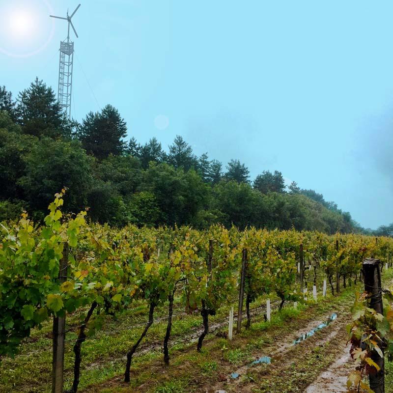 vignes-rouges-centifolia