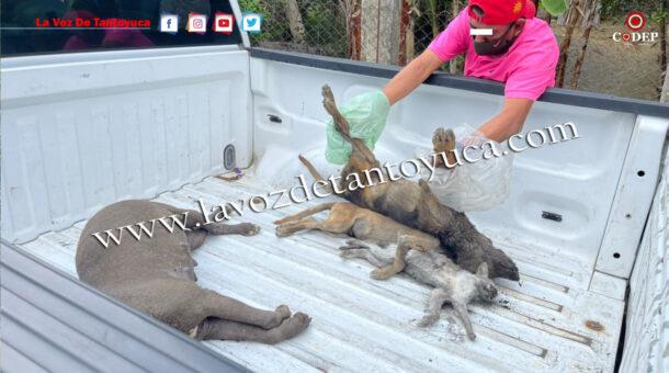 Inicia Fiscalía investigaciones tras el envenenamiento de perros en Tantoyuca | LVDT