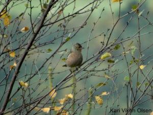 bokfink