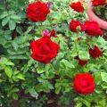 Cómo regar las rosas 2