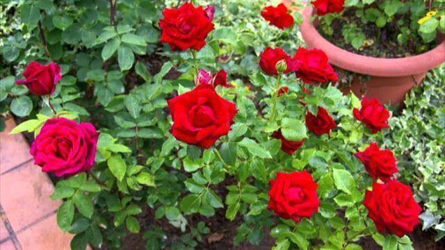 Flores para el jardín 6