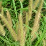 foxtail weed cedar rapids