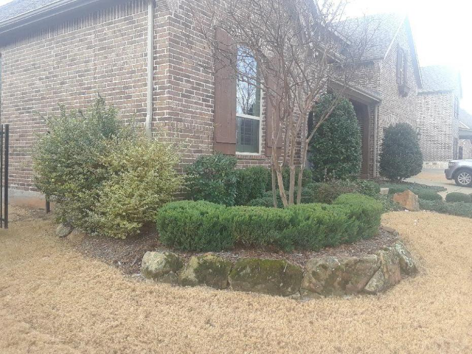 frisco texas landscaping example bushes