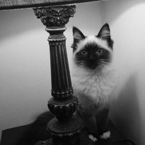 matilda-rag-doll-cat
