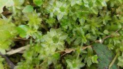 Bent-Leaf Moss