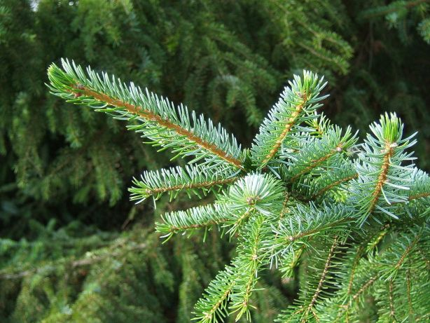 Picea_omorika