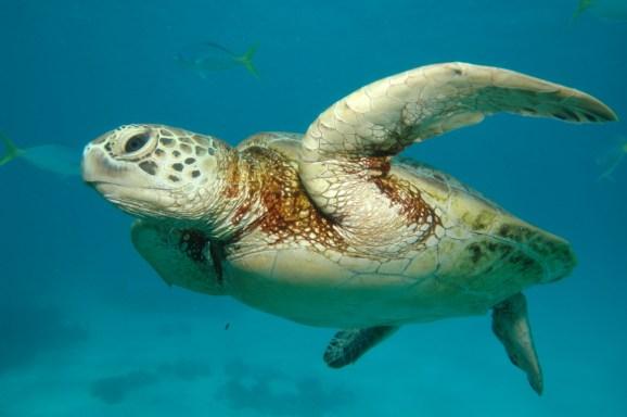 great-barrier-reef-sea-turtle