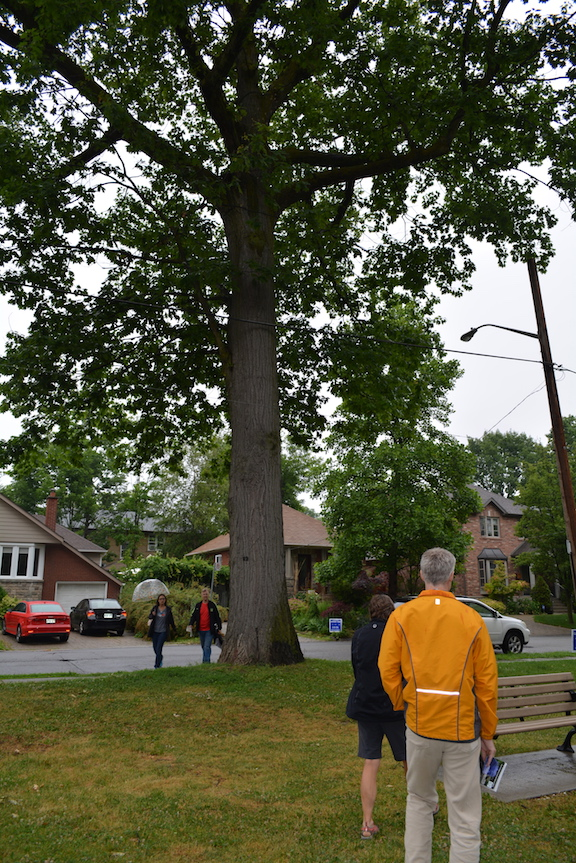 A photo of Big Red, our first Heritage Tree in Long Branch