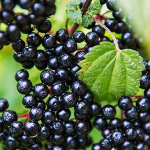 Close up photo of a Black Elderberry showing leaves and berries