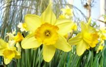 Daffodil: March birth flower