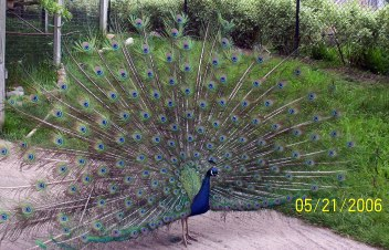 Peacock at Full Glory!