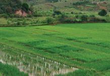 Des chercheurs de l'UPVD découvrent que le riz s'adapte naturellement aux stress environnementaux