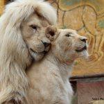 Un amour de lion au zoo d'Amnéville