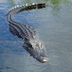 Le crocodile aperçu dans la Moselle était un poisson…d'avril