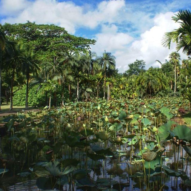 Le clbre jardin de Pamplemousse de Maurice paradise mauritiusexplored travelhellip