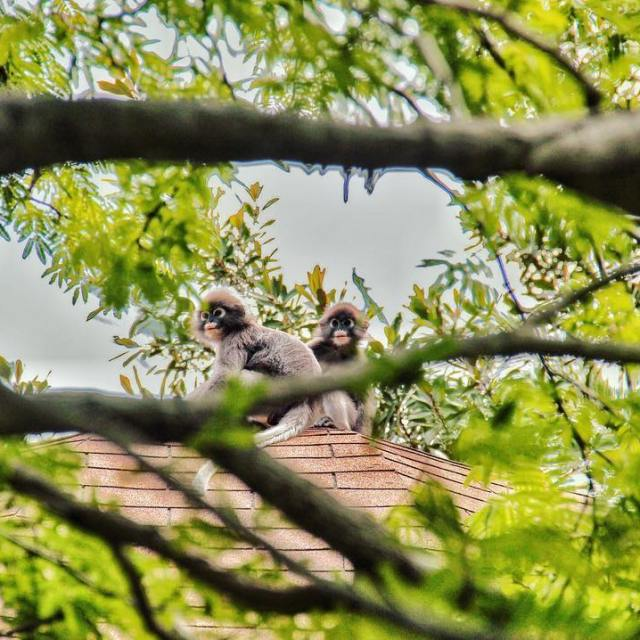 Singes langurs  lunettes blanches du Rayavadee oovatu cutebaby igasiahellip