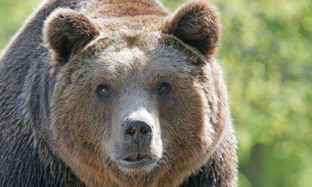 Les ours ne sont-ils plus les bienvenus dans les Pyrénées ?