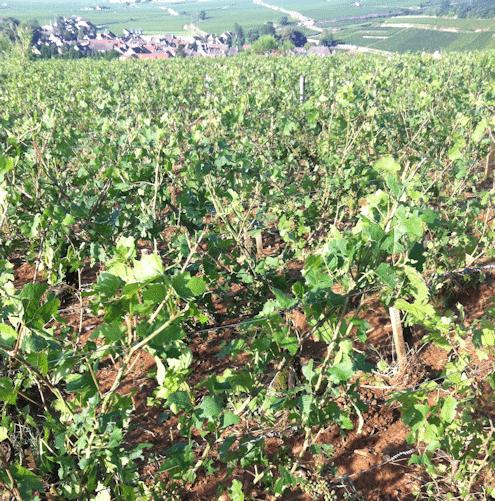 Nicolas Rossignol hail-smashed vines - La Grele - Lea and Sandeman