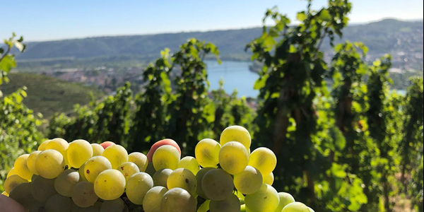 Condrieu grape