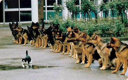 GSD high level obedience