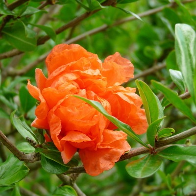 grenadier a fleurs punica granatum pleniflora
