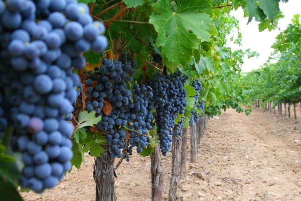 vineyard sales record