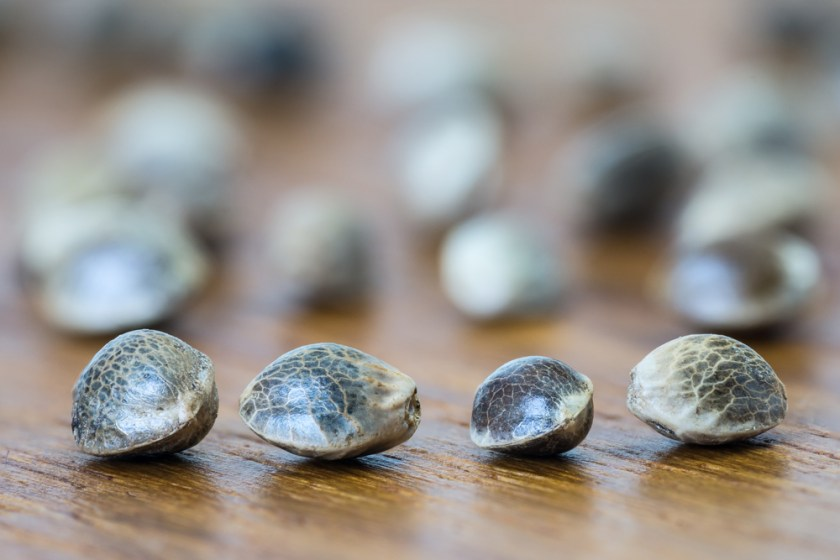 four cannabis seeds with blurred seeds in the background