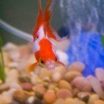 Everything about Ryukin Goldfish