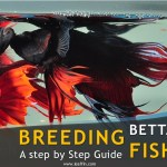 Guide to breeding betta fish
