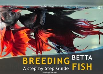 Guide to breeding betta fish