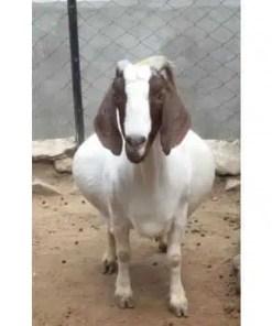 Buy Boer goats online