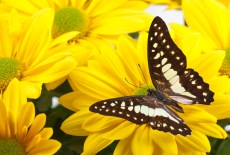 Photo Common Jay Butterfly on Yellow Chrysanthemum