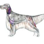 Level 1.10 Canine Anatomy Pos1