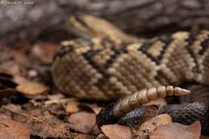 Western Diamond-backed Rattlesnake photo by Chad M. Lane