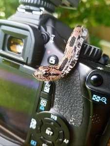 Eastern Hog-nosed Snake photo by Mike Tabb