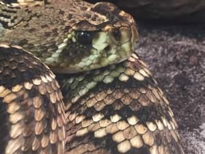 Eastern Diamond-backed Rattlesnake photo by Kim Bell Mross