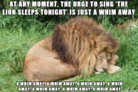 At-Any-Moment-The-Urge-To-Sing-The-Lion-Sleeps-Tonight-Is-Just-A-Whim-Away-Funny-Lion-Meme-Picture