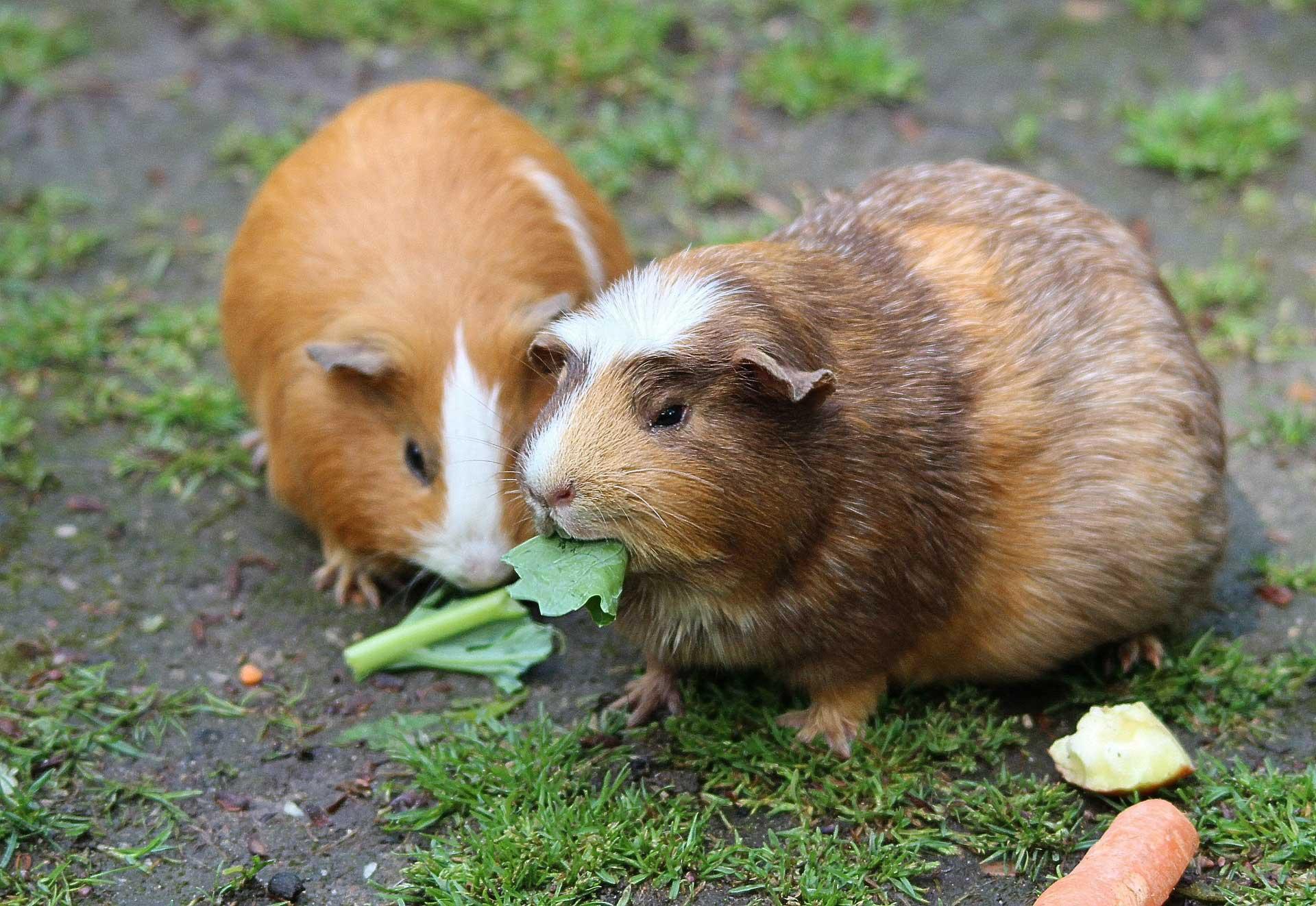 Popular Rodent Pets