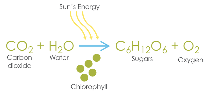 photosynthesis Equation Life Processes Class 10 Notes