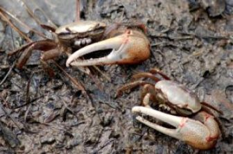 fiddler crabs and hermit crabs