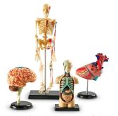 Anatomía montable