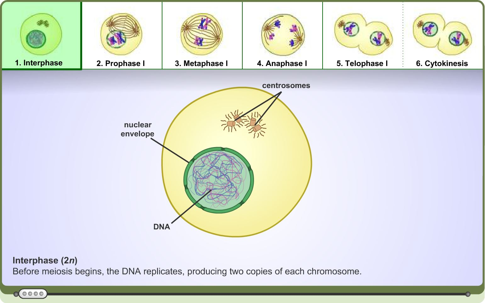 High School Science Learning Activity Meiosis