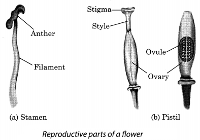 Reproduction in Plants Class 7 Extra Questions and Answers Science Chapter 12 3